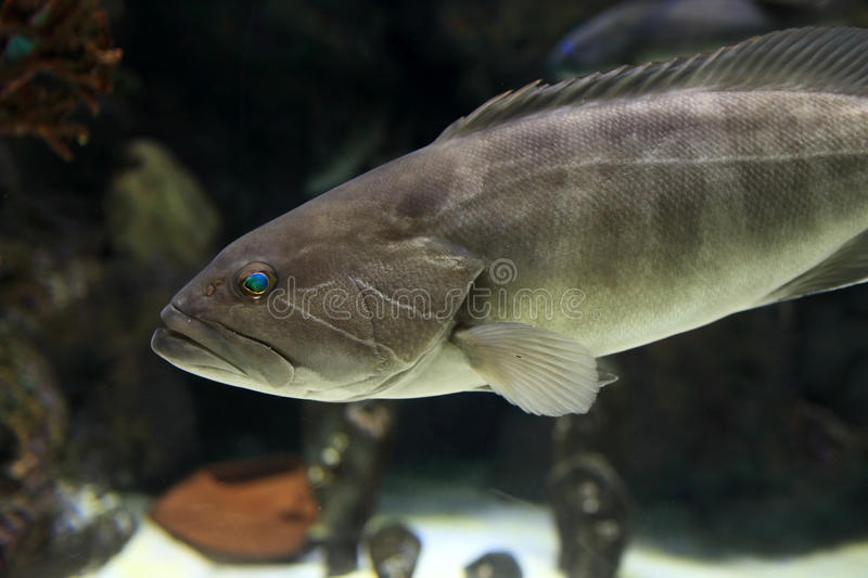 The Dusky Grouper fish. In an oceanarium stock images