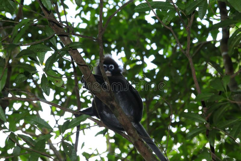 Monkey, Dusky leaf langur Trachypithecus obscurus spectacled leaf monkey royalty free stock images