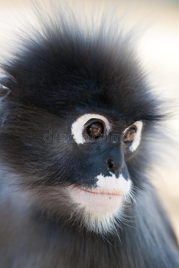 Download Dusky Leaf Monkey stock image. Image of brown, lungoor - 13553275