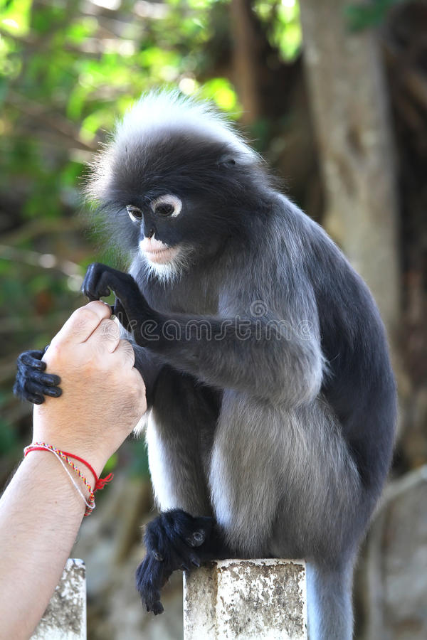 Download Dusky Leaf Monkey Stock Photography - Image: 26304942