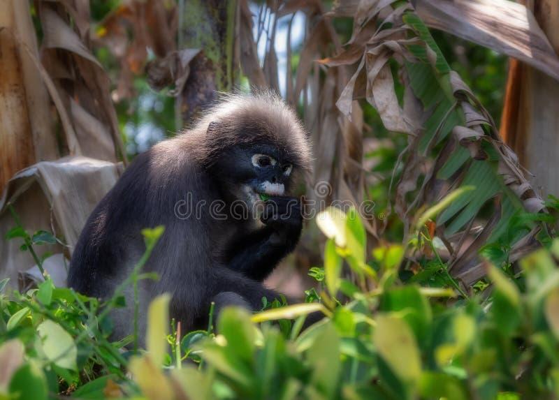 Dusky leaf monkey royalty free stock photography
