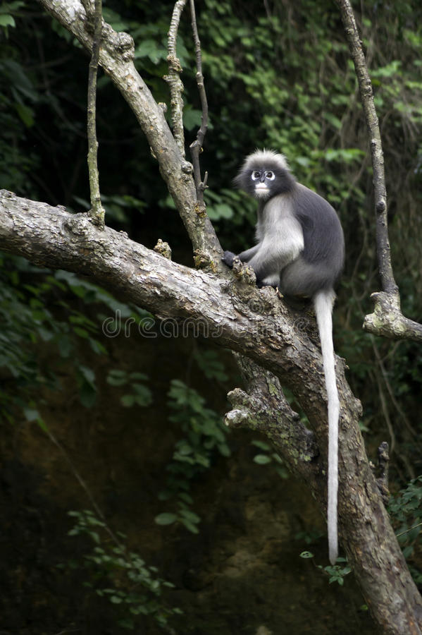 Dusky leaf monkey stock photo