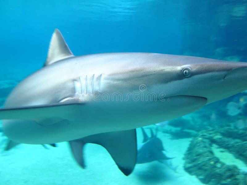 Shark in aquarium close-up royalty free stock photos