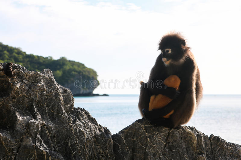 Dusky Spectacled langur with yellow baby on the beach. royalty free stock photos