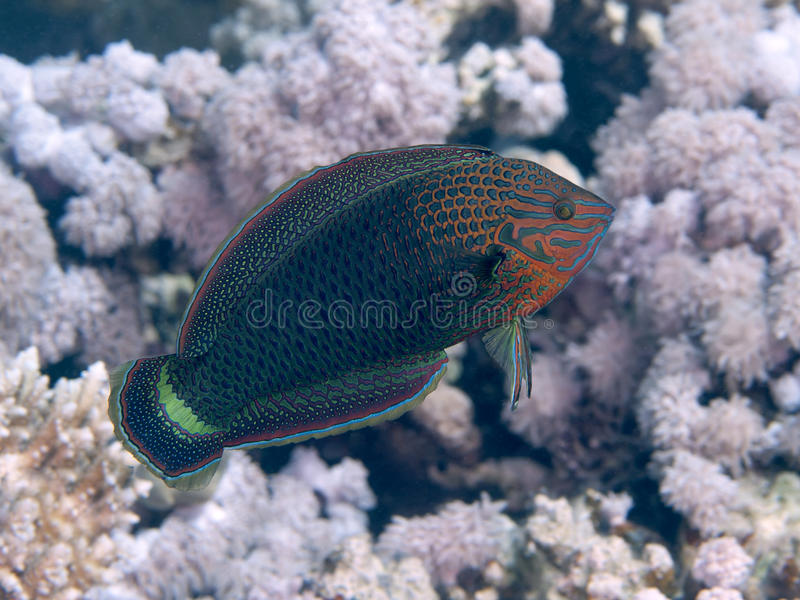 Dusky wrasse. In red sea royalty free stock images