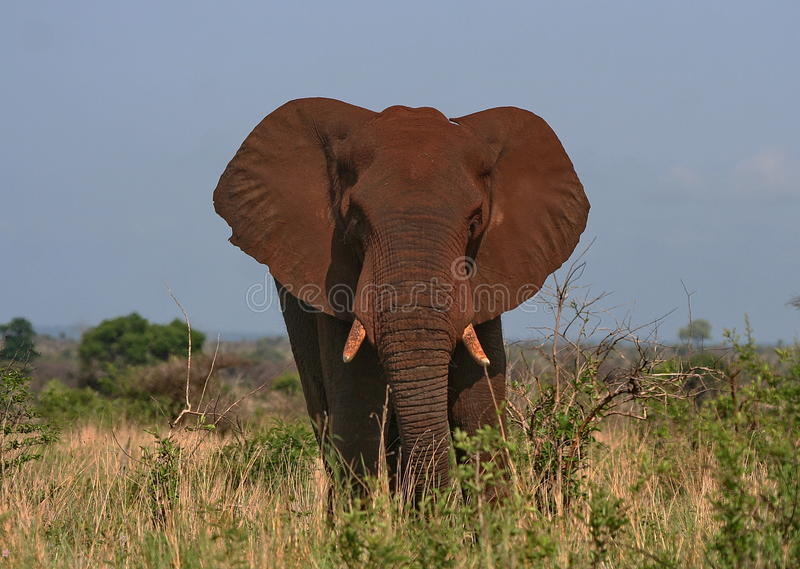 Dusty Elephant. This red looking Elephant had a dust bath stock photography