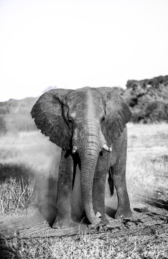 Dusty elephant stock image