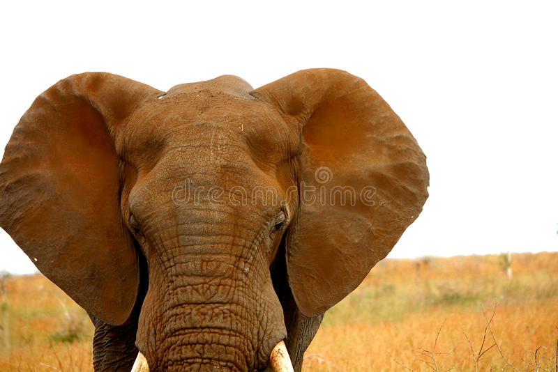 Dusty head of African elephant. Kruger park. South Africa. Safari. Dusty head of African elephant. Autumn in Kruger National park. South Africa. Safari stock photo