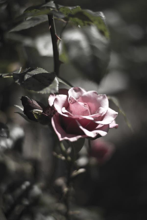 dusty rose zdjęcia stock
