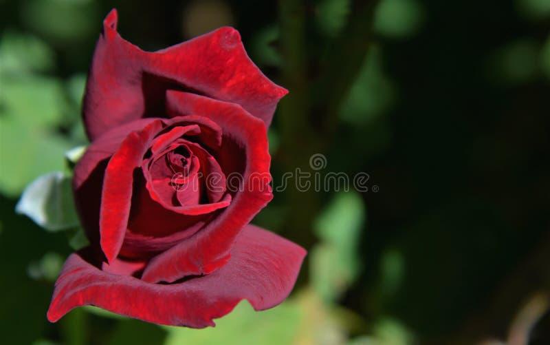 Dusty Rose rosso immagine stock libera da diritti