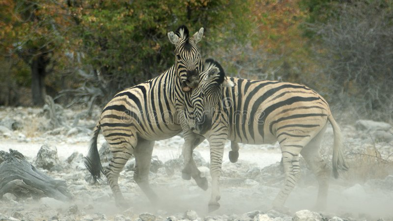 Dusty zebra fight. The dust is flying if zebras start there fight stock photos