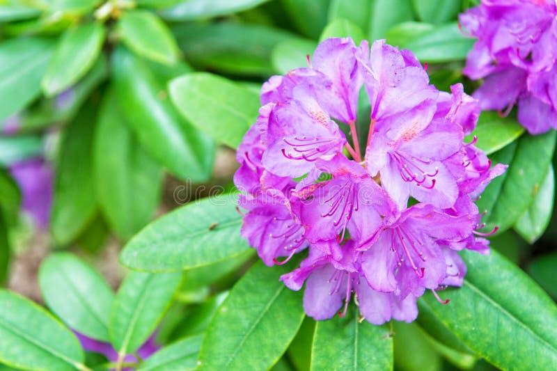 Dusza kwitnie w naturze Kwiat z fiołkowymi płatkami i zieleń liśćmi Kwitnie w ogródzie na pogodnym lata lub wiosny dniu obrazy royalty free