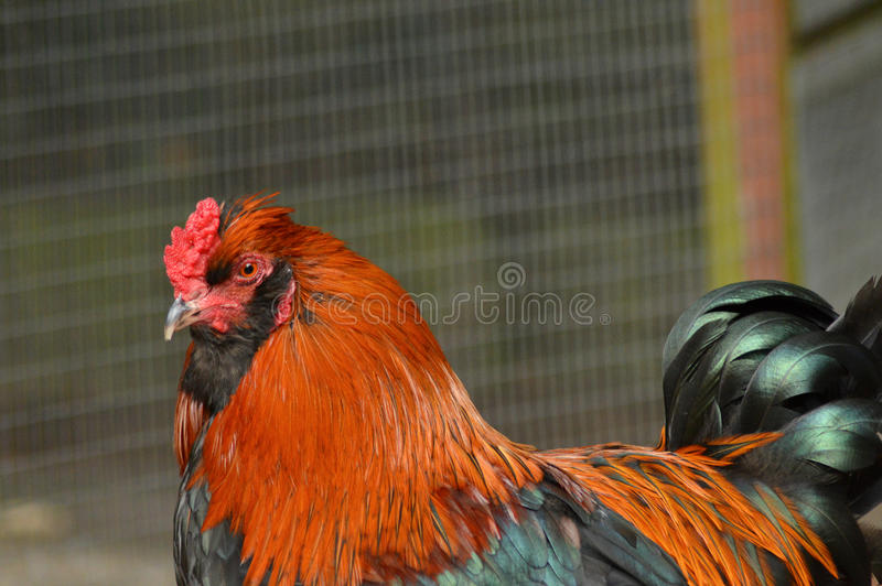 Dutch bantam rooster. Huge rooster at a local farm royalty free stock image