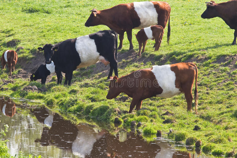 Dutch Belted or Lakenvelder cows. An old and rare breed of Dutch dairy cattle - with calves on field drinking water royalty free stock photo