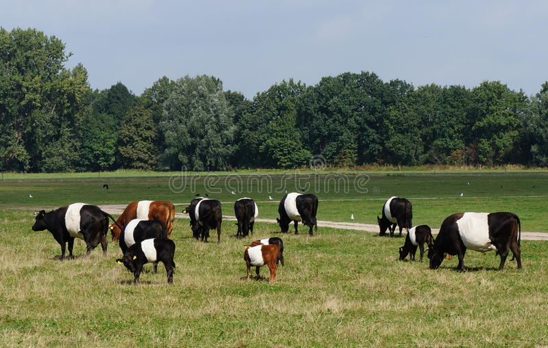 Dutch Belted (lakenvelder) cows. A small herd of Dutch Belted or Lakenvelder cows. The original belted cattle originated in Austria and Switzerland royalty free stock images