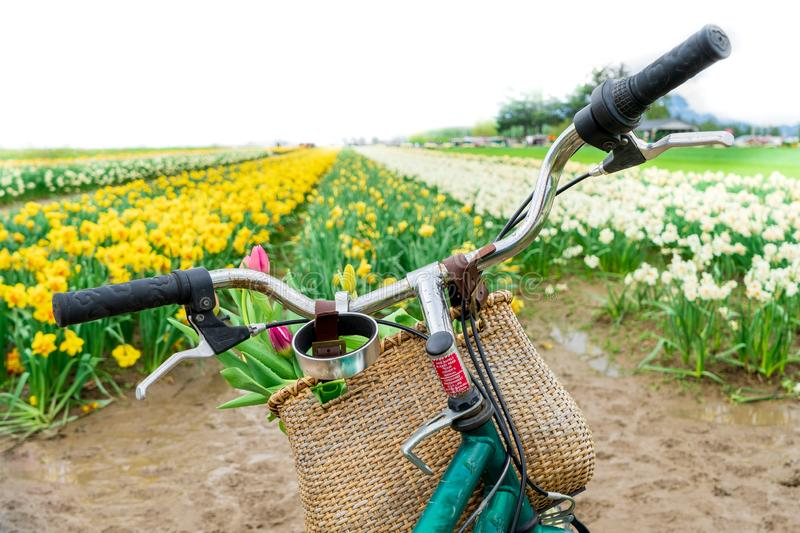 Dutch bike fiets handlebars facing forward to a tulip field, with a bike basket of flowers. Springtime scenery and concept. stock images