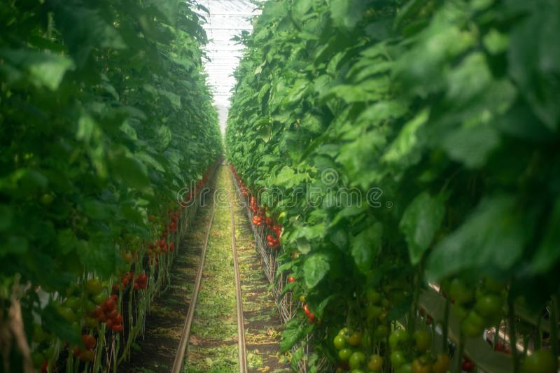 Dutch bio farming, big greenhouse with tomato plants, growing in. Door, ripe and unripe tomatoes on vines. Applied soft low-clarity filter for artistic effect stock images