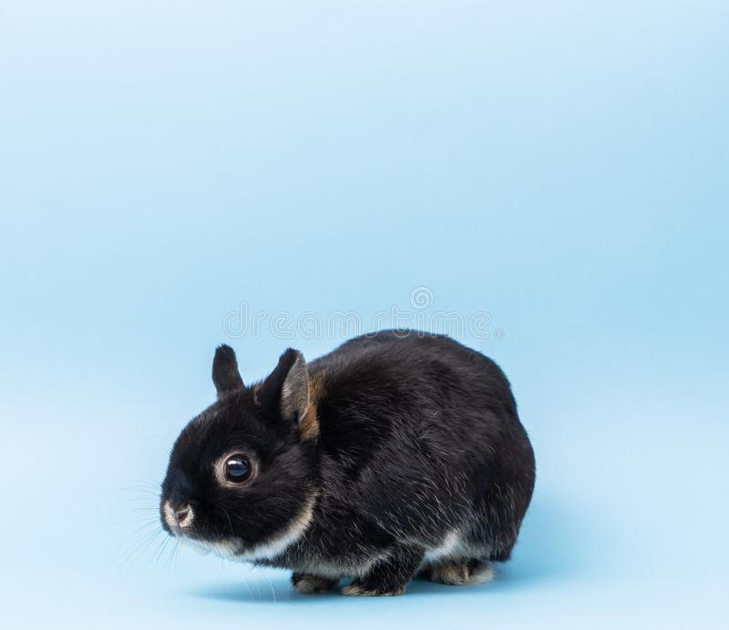 Dutch black otter color rabbit on a blue background. Close-up royalty free stock photography