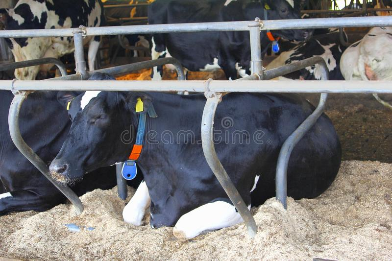 Dutch black white cows shed business farm, Netherlands royalty free stock photos
