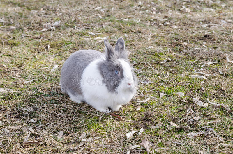Dutch blue rabbit close-up. Dutch Rabbit domestic, sitting, feeding on grass royalty free stock photography