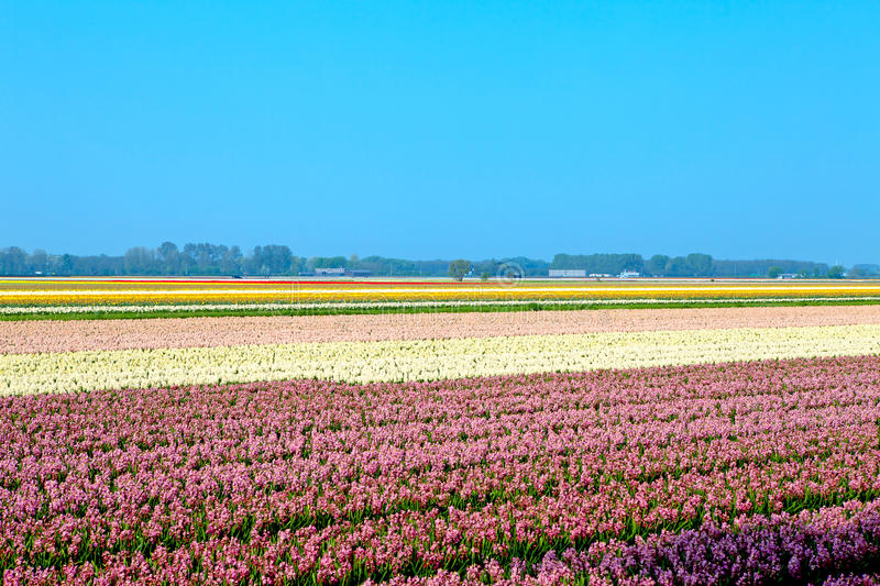 Dutch bulb field royalty free stock photos