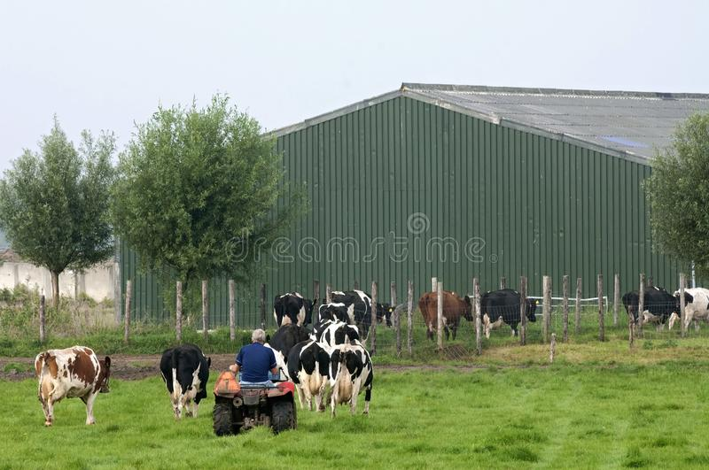 Dutch cattle farmer drives cows to cowshed royalty free stock photo