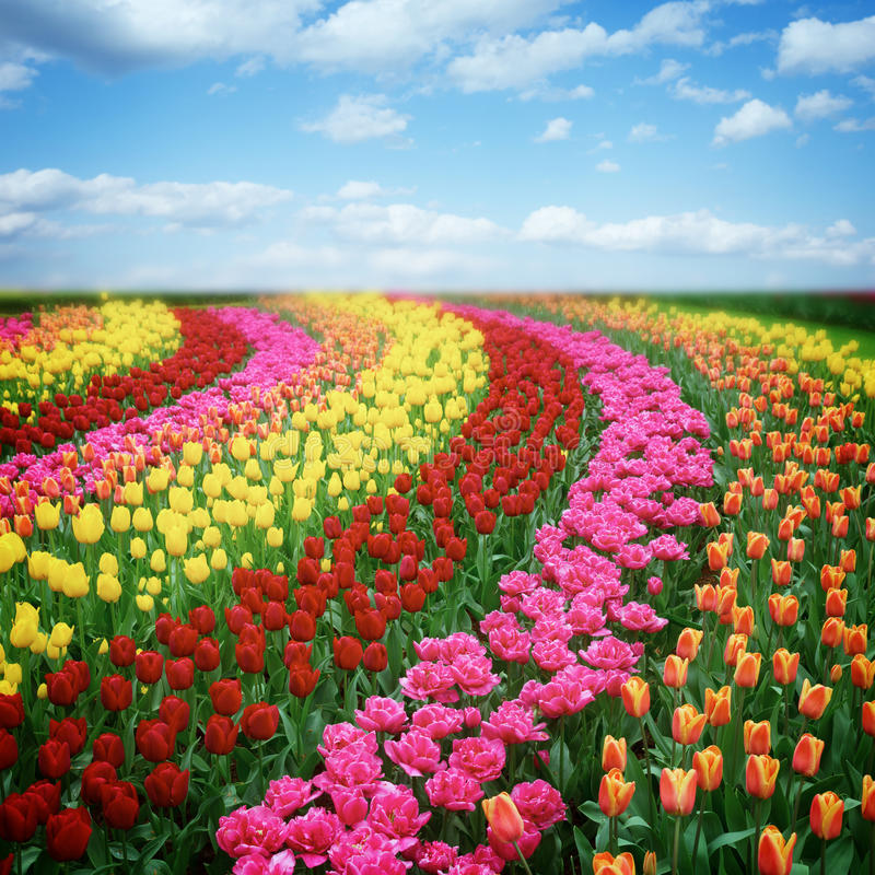 Dutch colorful tulips fields in sunny day royalty free stock photo