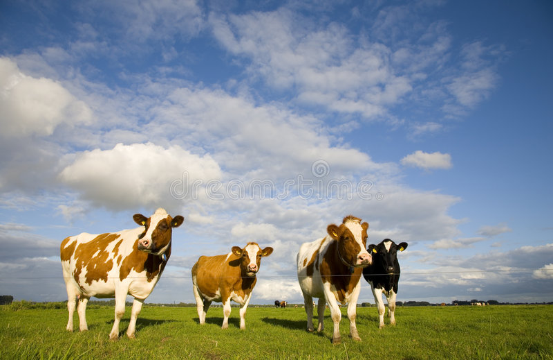 Dutch Cows 1 Stock Photo