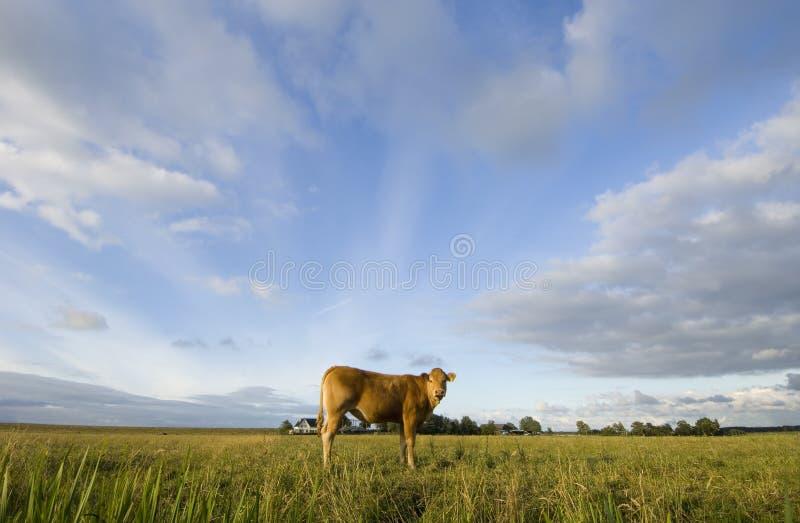 Dutch Cows stock images