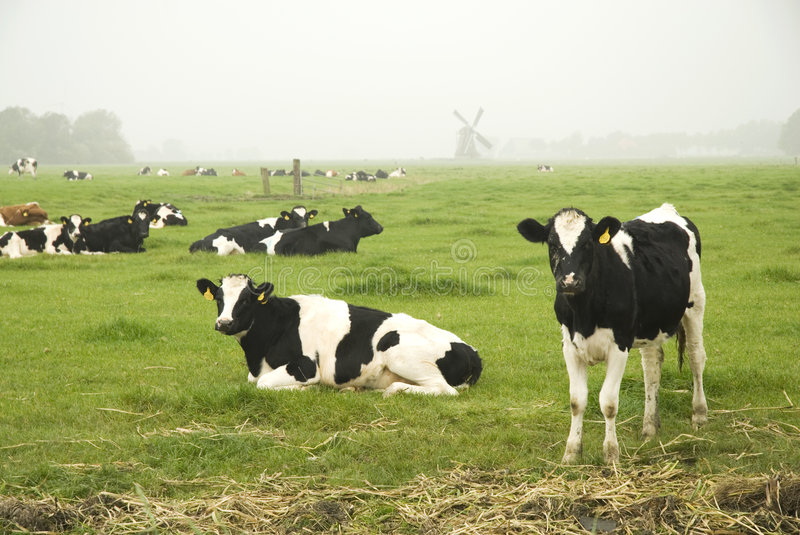 Download Dutch cows in autumn stock photo. Image of holland, land - 3356012