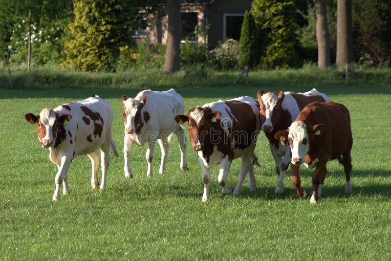 Dutch Cows. In the meadow-Nederlandse koeien in het weiland royalty free stock photos