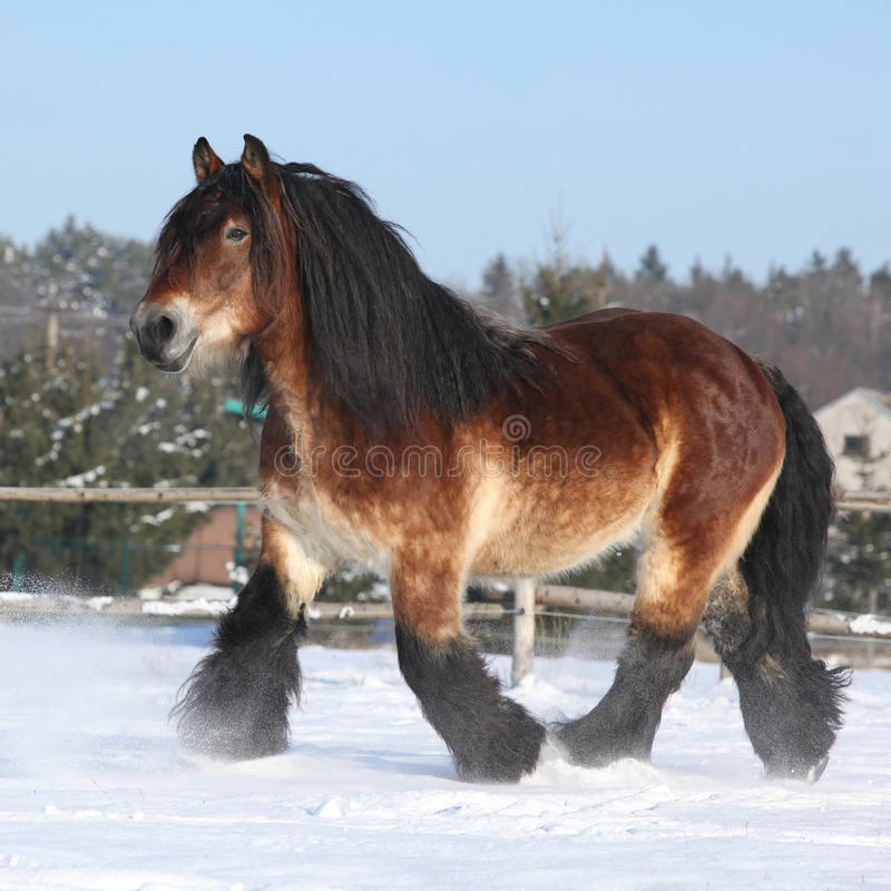 Dutch draught horse with long mane running in snow royalty free stock photos