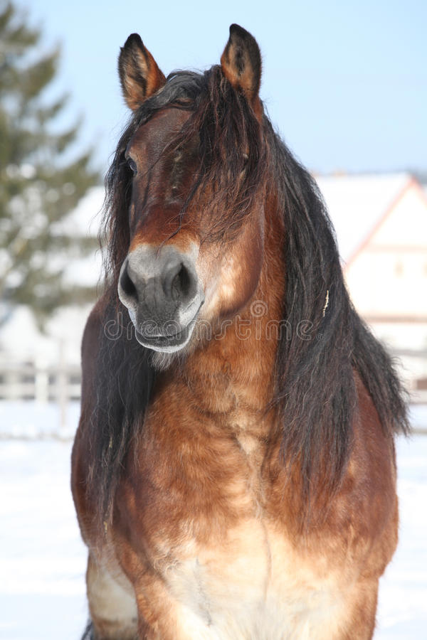Dutch draught horse stallion in winter stock photos