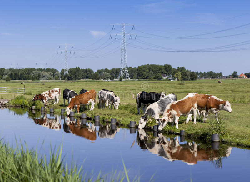 Dutch farmland with cattle. Dutch farmland filled with cows. This area just north of Amsterdam is also knows as Waterland. The cattle have a nice reflection in royalty free stock images