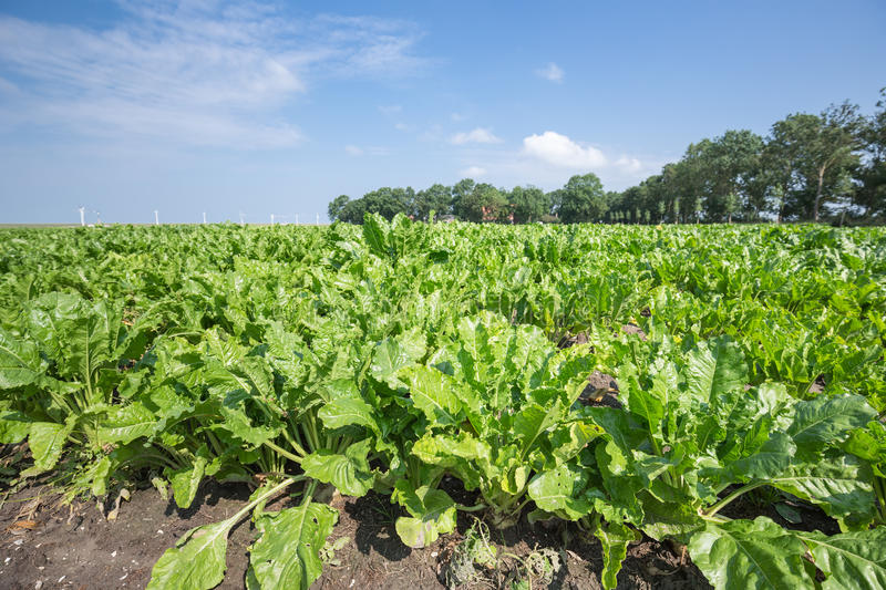 Dutch farmland with sugar beets. Ready for harvesting stock photography
