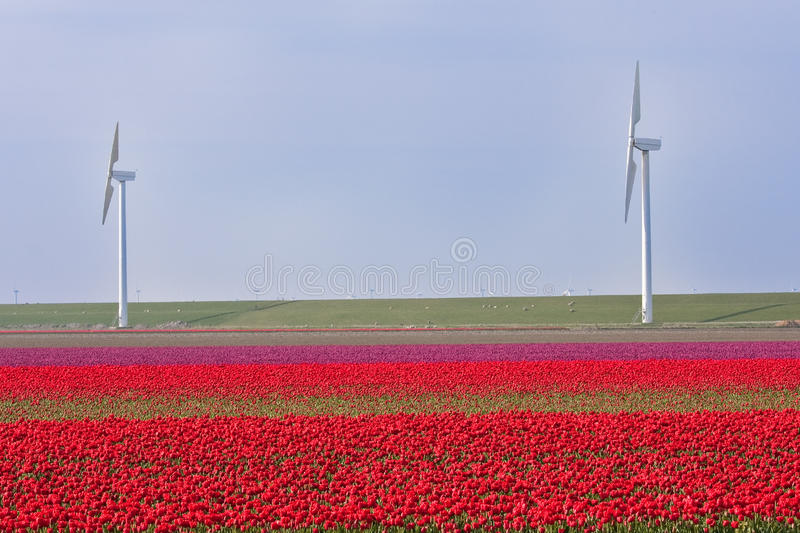 Download Dutch Field Of Tulips With Windmills Behind It Stock Photo - Image: 14182364