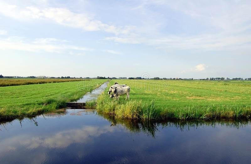 Dutch flat landscape with cows and grass fields. Reflection of the sky in the water stock photography
