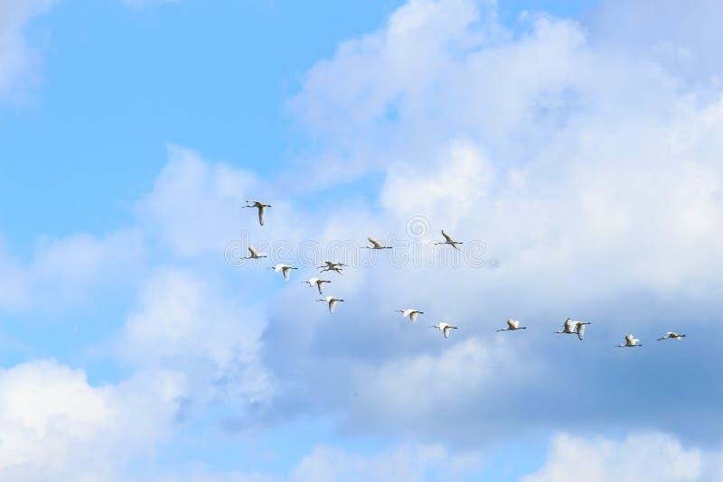 Flight of spoonbills, Rammelwaard, Holland royalty free stock photo