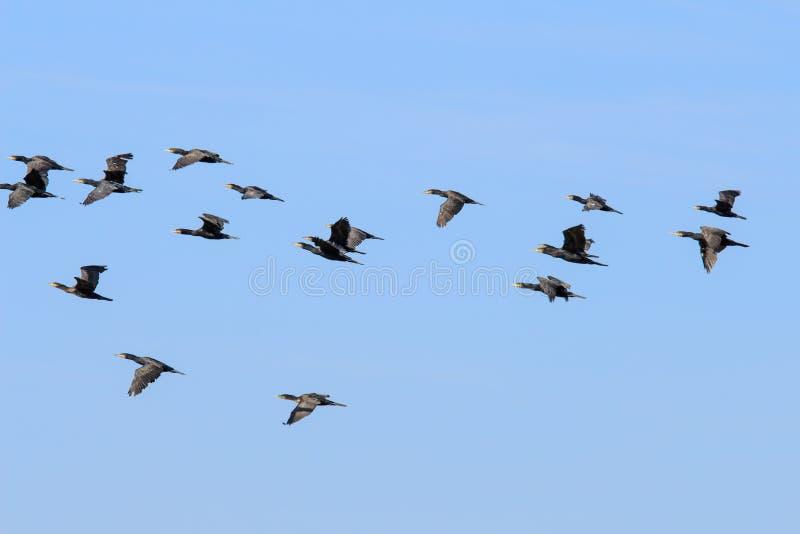 Flight of great cormorants, Rammelwaard, Holland royalty free stock photo
