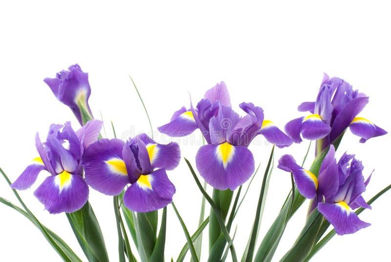 Dutch iris royalty free stock image