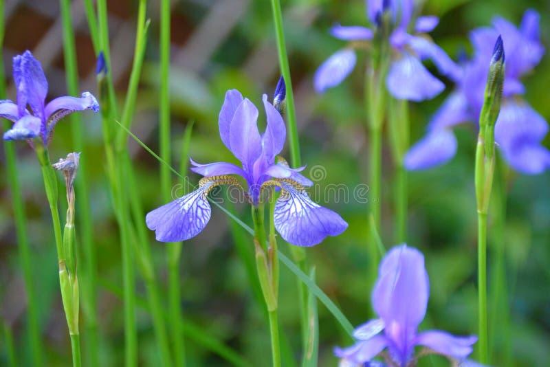 Dutch Iris also known as Gypsy beauty stock photo