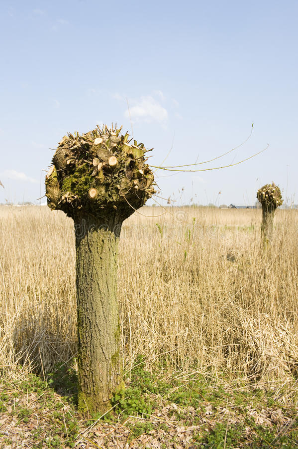 Dutch knotted willow. Tree in vertical landscape royalty free stock photography