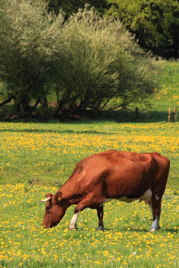 Dutch landscape cattle and spring flowers. Brown cow grazing in a field with yellow spring flowers stock photo
