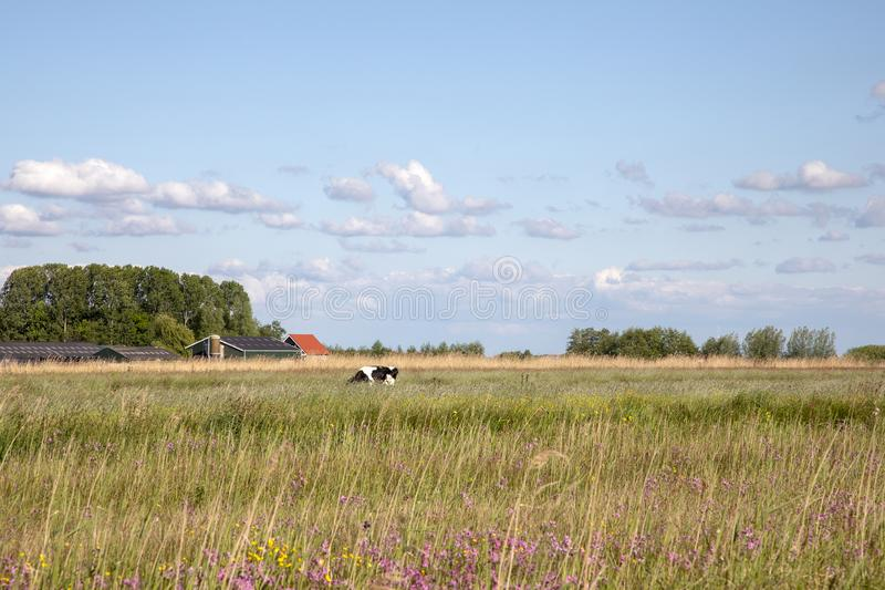 Dutch landscape, in the distance a cow in the reed field and a farm in the background under a sky with clouds stock image