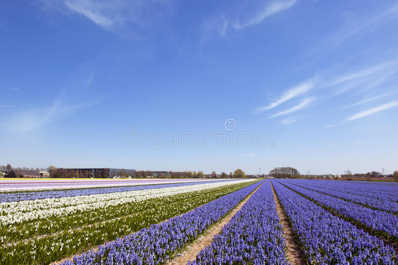 Download Dutch Landscape With Hyacinth Flowers Stock Photo - Image: 14333850