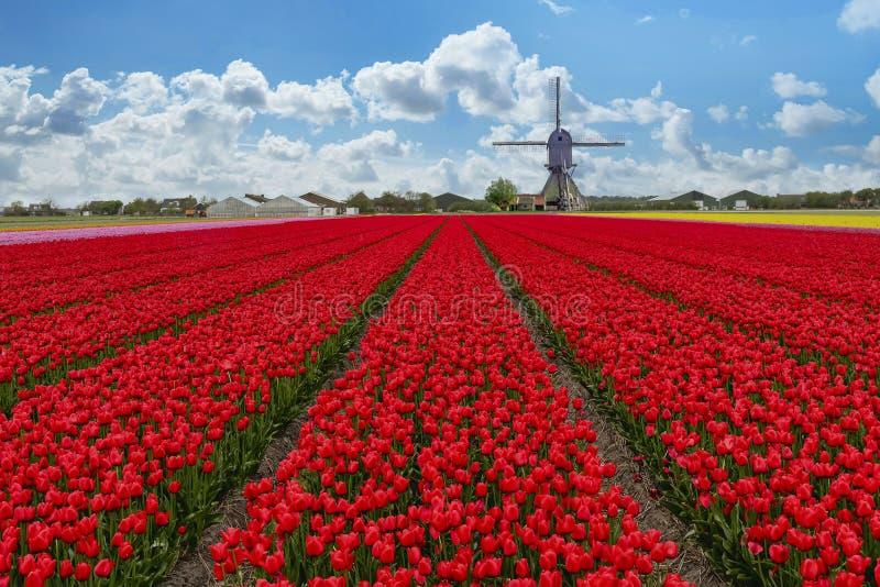Dutch Tulip Windmill Landscape stock image