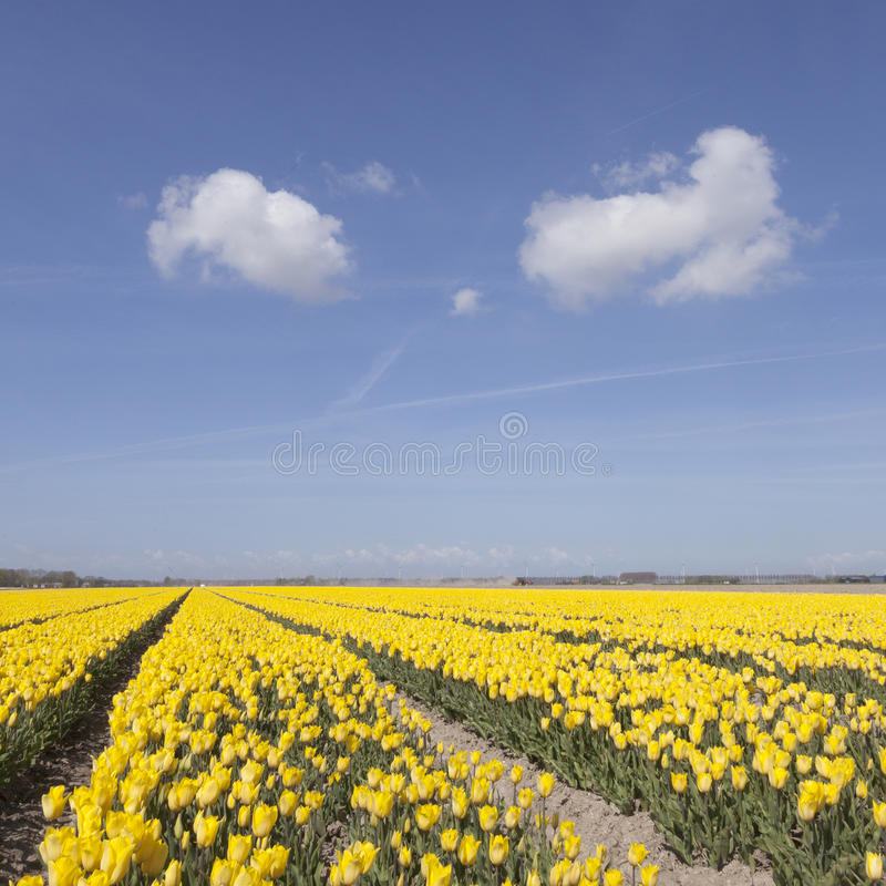 Dutch landscape with yellow tulips in flower field plus blue sky. And two clouds in noordoostpolder stock image