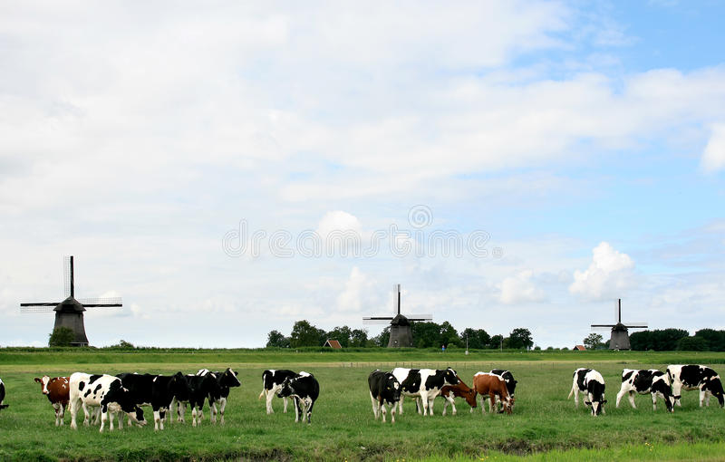 Dutch landscapes with cows and mills. A herd of black and white cows and a few red cows in a dutch meadow . At the background against the horizon three stock photos