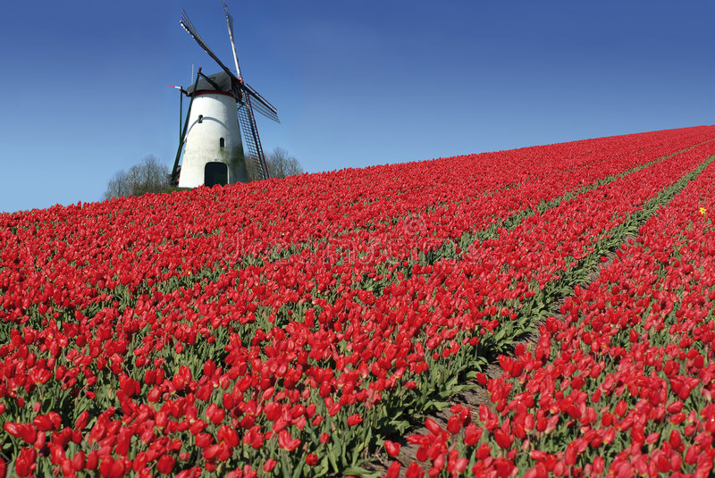 Dutch mill and red tulips. Dutch mill behind a field full of red tulips royalty free stock images