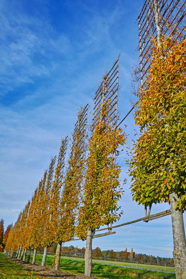 Dutch nursery of exclusive shaped espaliered decorative trees, p stock photo